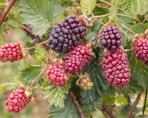 The times has come to prune your boysenberries post fruiting. Photo: Getty Images