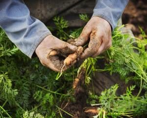 Carrots, being cold-tolerant, can be left in the ground until August. Photo: Getty Images