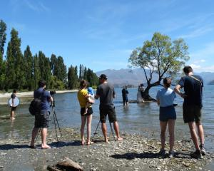 Is the Lake Wanaka willow tree the most-photographed landmark in Otago? Camera-carrying visitors...