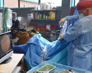 Guy Alexander performs arthroscopic surgery on a thoroughbred racehorse at the Otago Equine...