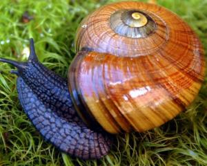 Powelliphanta snail. Photo: Doc