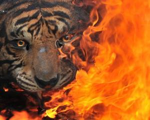 Evidence of preserved tigers burned for destruction at the Office of Natural Resources...