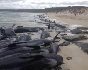 Over 150 short-finned pilot whales have beached themselves in Western Australia. Photo: Western...