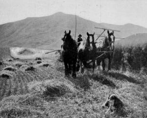 A reaper and binder working on a grain crop at Mr Miller's farm, Mt Barker, Lake Wanaka. - Otago...