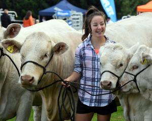 Kim Hall (16), from Balclutha, leads her sister Sam's Charolais entries, Molly, Mia, Norton and...