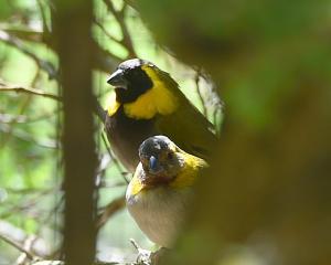 A pair of Cuban finch at the Dunedin Botanic Garden aviary. Photo: Gregor Richardson.
