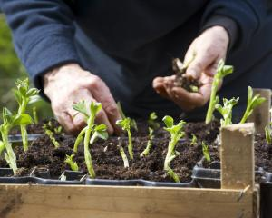 Now is the time to plant your broad beans in order to bear crops in early summer. Photo: Getty...