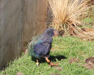 IMG 2960: Te Anau Bird Sanctuary's new Takahe chick, Timata. Photo: Julie Walls