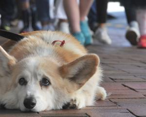 We all feel a bit like this sometimes. Bryn Somerville's dog Rodger (11), of Christchurch, waits...