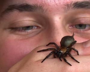 University of Otago zoology student Samuel Purdie (19) with Greta, the female black tunnelweb...