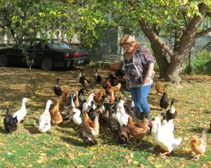 Victoria Bonham, of Galloway, near Alexandra, has a flock of assorted ducks and chickens, some of...
