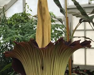 Dunedin's corpse flower in full bloom.