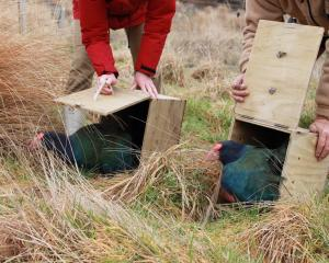 Takahe transported in a box made by Otago Corrections Facility prisoners, are released. Photos:...