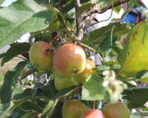 Tasman was New Zealand's second largest apple producer behind Hawke's Bay. Photo: Charmian Smith