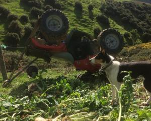 Hillend farmer Douglas Jack's dog Mindy watches over her owner's quad bike after it rolled last...