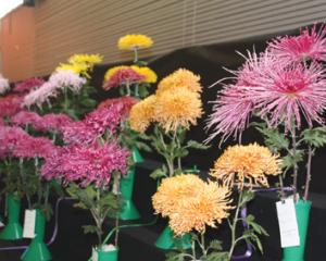 IMG 3089: Chrysanthemums on display at the recent South Island National Chrysanthemum Show 2018...