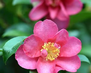 Camellia hiemalis 'Kanjiro'. Photo: Peter McIntosh