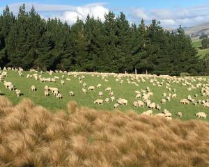 Ewes graze on the Wallace family farm. PHOTO: SALLY RAE
