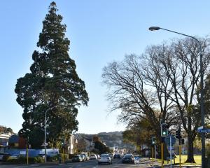 The big tree at 558 Great King St (one-way north) opposite the North Ground. It's shape reminds...