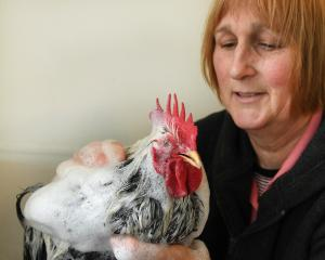 Kaye Sangster prepares her silver laced Pekin bantam — the only one of its kind in New Zealand —...