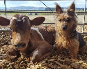 This photo, by Michele van Zyl, of Gore, won the 18+ age group in the annual IHC Calf and Rural...