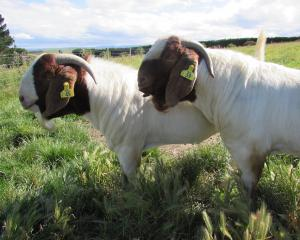 Two of the goats at the Whitestone Boer Goat Stud. Photo: Owen Booth