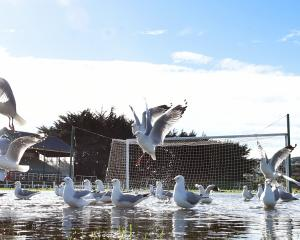 Seagulls on the water at Tahuna Park yesterday after the weekend's heavy rainfall. PHOTO: PETER...