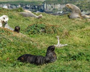 Sea lion mothers tend their pups in the tussock on Auckland Islands. Photo: Getty Images