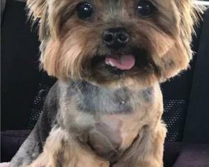 Diezel the 9-year-old Yorkshire Terrier suffered injuries akin to being stomped on or beaten with...