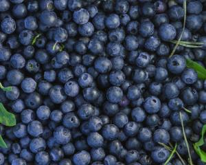 Blueberries have been eaten by native Americans for centuries. Photo: Getty Images