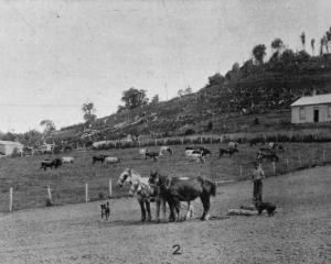 Mr Holland's farm at Limehills, Southland. This was said to be a ''typical farm scene'' there. —...