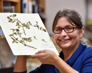 University of Otago botanist Janice Lord holds some rare native mistletoe. Photo: Peter McIntosh