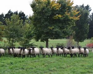 Top ewe lambs were offered for sale at the Loffhagen family's farm near Hawarden during the 2018...