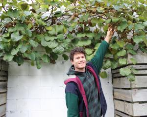 Rory Harding grabs a snack from akiwifruit vine in his orchard in George St. Photo: Ella Stokes