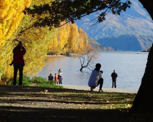 Tourists photograph Wanaka's famous Roy's Bay willow. Photo: Mark Price