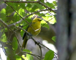 Mohua are sparrow-sized, yellow-headed forests songsters. They were once one of the most common...