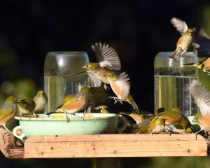Silvereyes (waxeyes to many) flock to a bird table in Sawyers Bay, where they drink up to six...