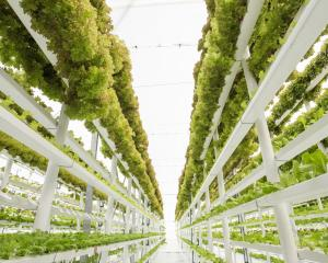 Vertical farming provides an impressive example of vegetable growing which looks more like a...