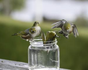 There's only so much room on the lip of those small jars. An incoming silvereye creates space for...