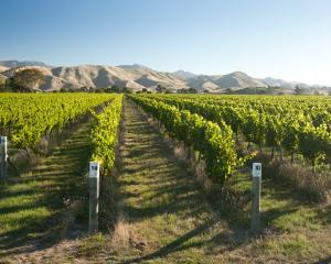Proposed changes over access to grapes do not suit everyone; pictured, a sauvignon blanc vineyard...