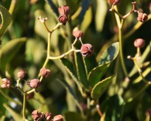 The Japanese spindle tree, which is banned by the Ministry of Primary Industries, was included in...