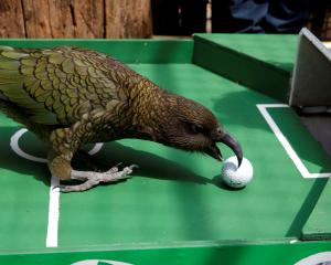 Does it come as any great surprise that a kea is being used to predict the winners of the World...