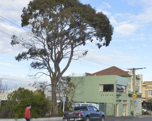 The willow peppermint near the corner of McBride and King Edward Sts in South Dunedin. Its lower...