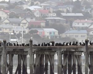 Otago shags gather on Sumpter Wharf, in Oamaru Harbour. Photo: Stephen Jquiery