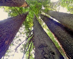 It is mesmerising just how far California's colossal redwood forests stretch. PHOTOS: MIKE...