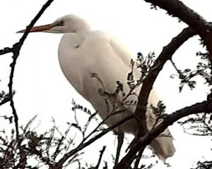 The white heron which landed on Janice Armstrong's roof in Ashburton last week after scoffing a...