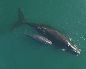 A 15m long right whale and her calf photographed in 2016 by a drone off the subantarctic Auckland...