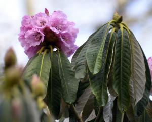 Rhododendron magnificum. Photo: Gerard O'Brien