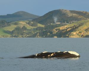 A southern right whale calf spouts while following its mother in Otago Harbour last month. Photo:...