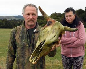 Milton farmers Thomas and Regula Fischli, at their Akatore Rd property with the skull of a cow...